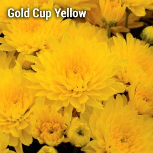 Gold Cup Yellow Garden Mum