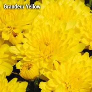 Grandeur Yellow Garden Mum