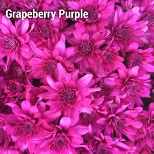 Grapeberry Purple Garden Mum