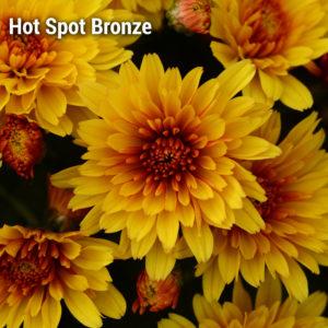 Hot Spot Bronze Garden Mum