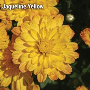 Jacqueline Yellow Garden Mum