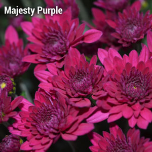 Majesty Purple Garden Mum