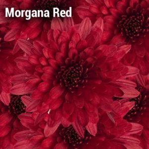 Morgana Red Garden Mum