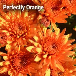 Perfectly Orange Garden Mum