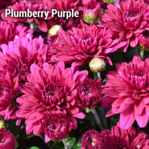 Plumberry Purple