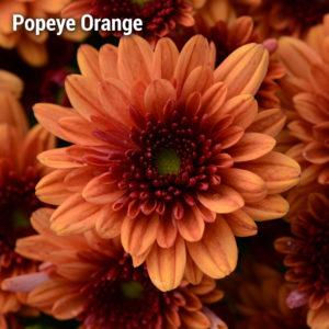 Pop Eye Orange Garden Mum