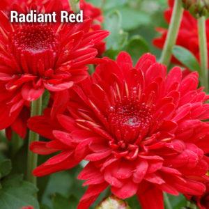 Radiant Red Garden Mum