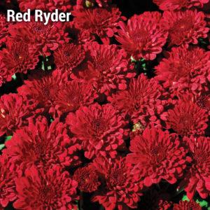Red Ryder Garden Mum