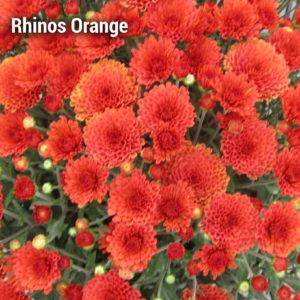 Rhinos Orange Garden Mum