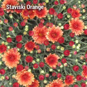 Staviski Orange Garden Mum