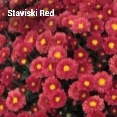 Staviski Red Garden Mum