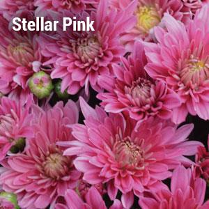 Stellar Pink Garden Mum