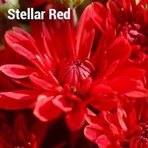 Stellar Red Garden Mum