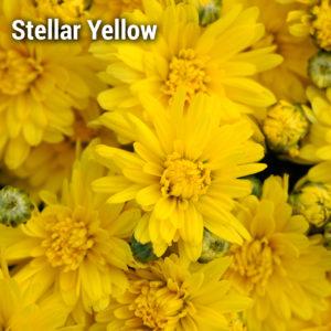 Staviski Yellow Garden Mum
