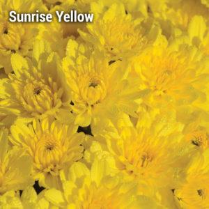 Sunrise Yellow Garden Mum