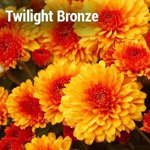 Twilight Bronze Garden Mum