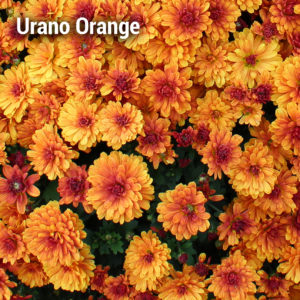 Urano Orange Garden Mum