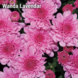 Wanda Lavender