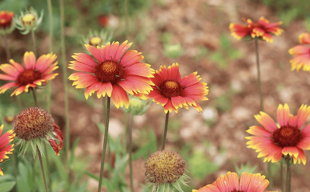 irrigation drought-tolerant plants gaillardia st john