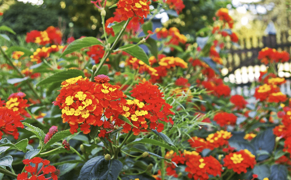 irrigation drought-tolerant plants lantana st john