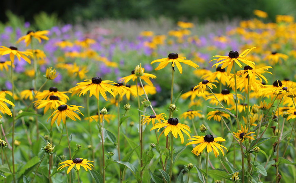 irrigation drought tolerant plants rudbeckia st john