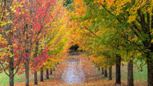 Trees for Fall Color Alsip Frankfort Illinois St John Indiana