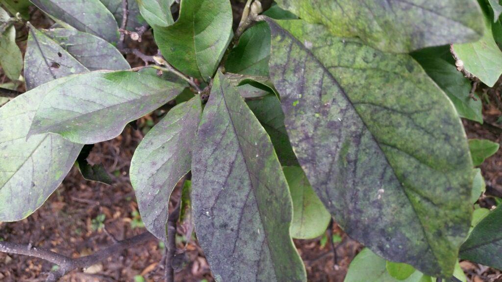 Magnolia Scale Alsip Frankfort Illinois St John Indiana