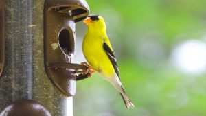 choosing-the-right-feeders-for-attracting-birds-goldfinch-feeder-header