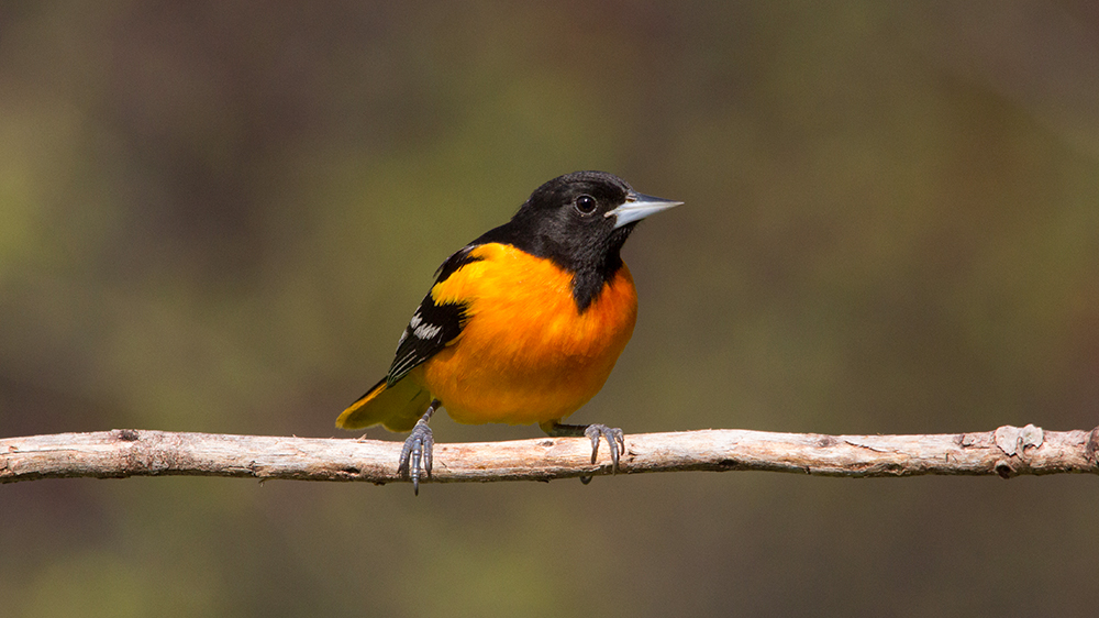 choosing-the-right-feeders-for-attracting-birds-oriole-branch