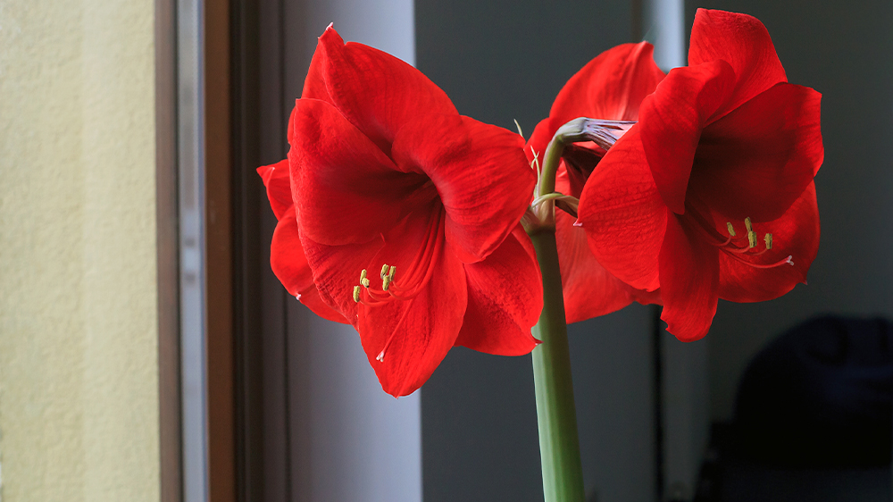 our-ultimate-holiday-gift-guide-2019-AMARYLLIS