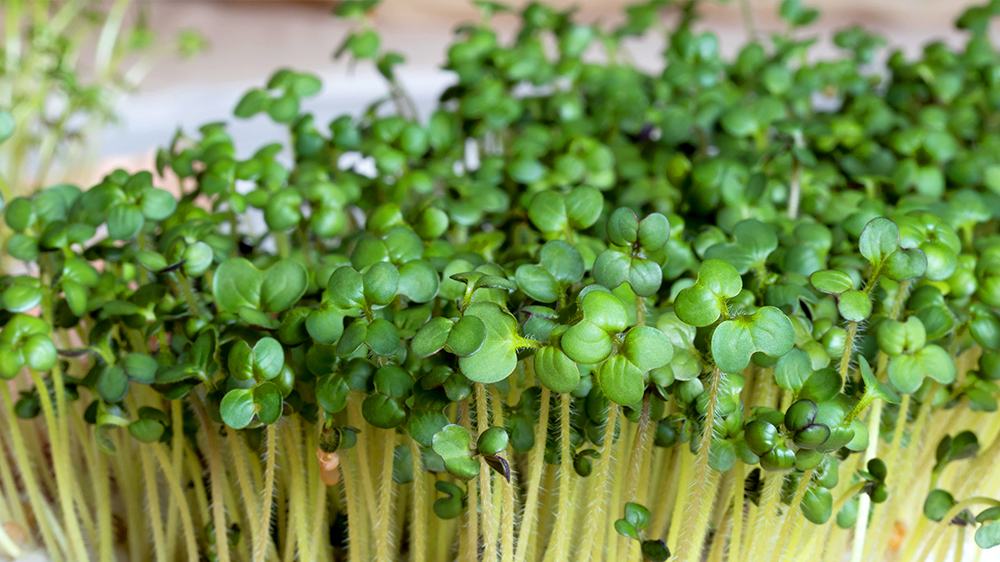 how-to-grow-microgreens-mustard-sprouts-up-close
