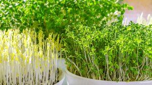 how-to-grow-microgreens-various-microgreens-in-bowl