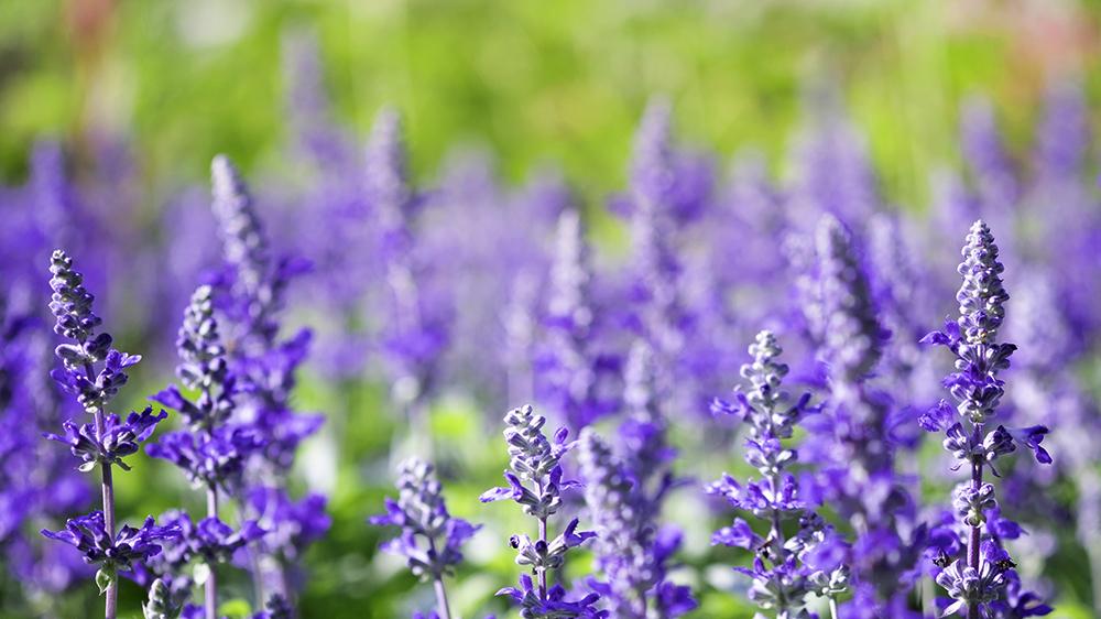 top-5-spring-annuals-salvia