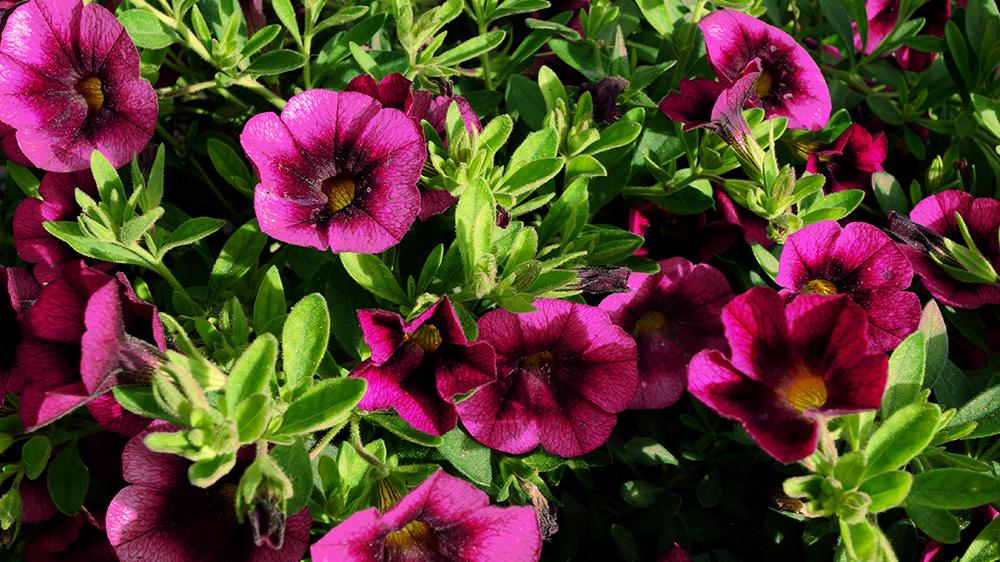 top-5-spring-annuals-superbells-blackcurrant-punch