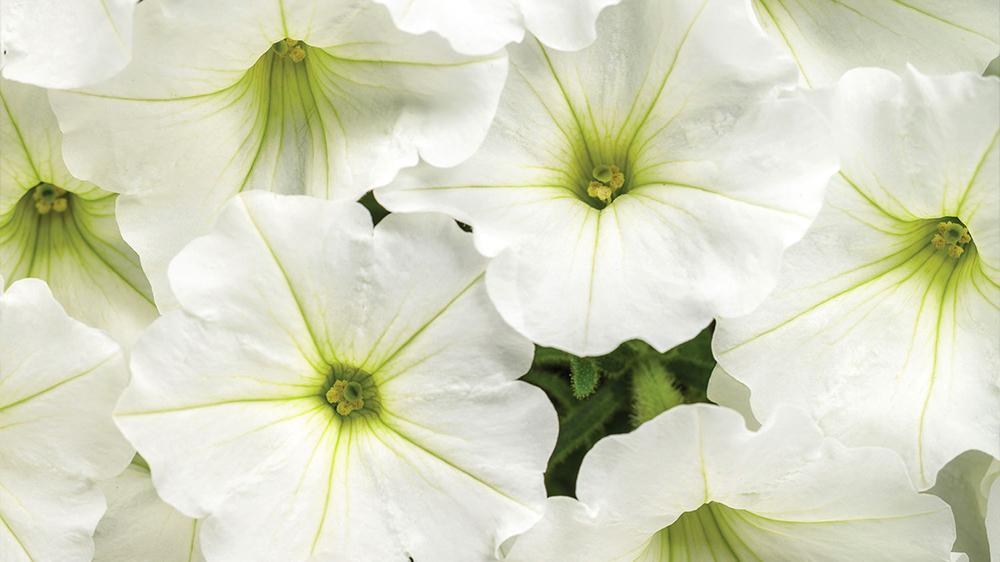 top-5-spring-annuals-supertunia-snowdrift
