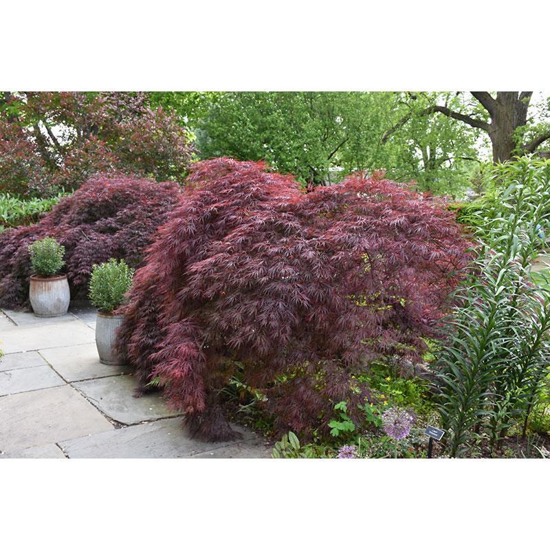 Maple Tree Japanese Crimson Queen B B 4 5 Ft Multi Stem