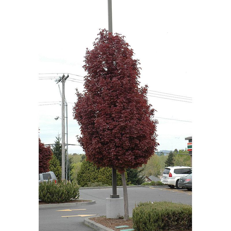 Maple Tree Crimson Sentry B B 2 5 Caliper Alsip Home Nursery