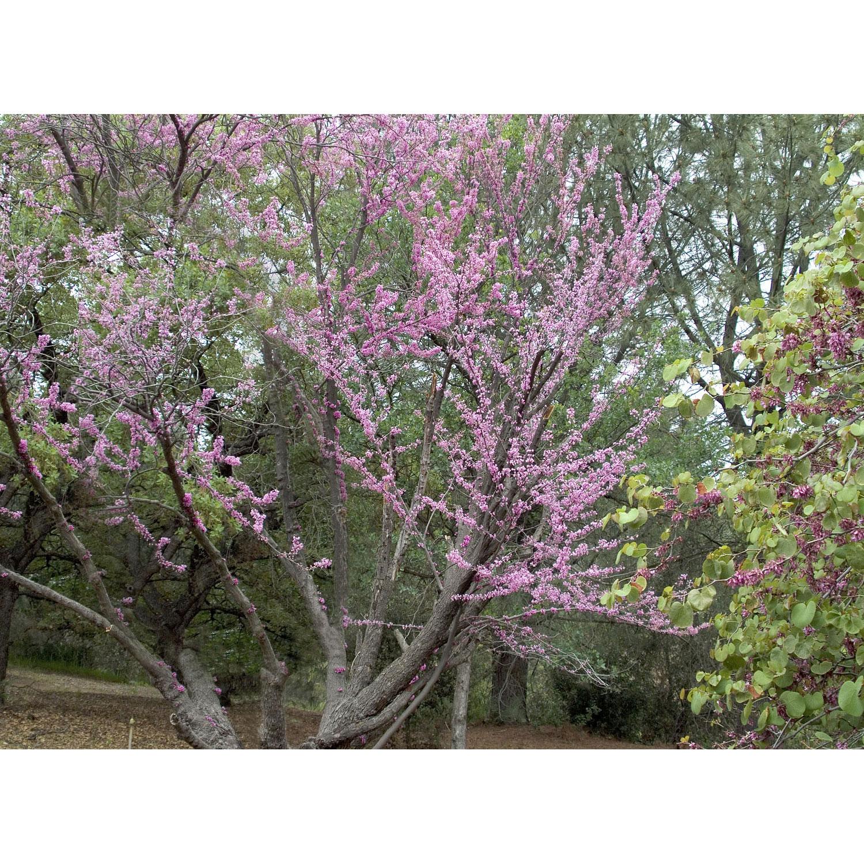 Redbud Tree Eastern B B 6 Ft Multi Stem Alsip Home Nursery