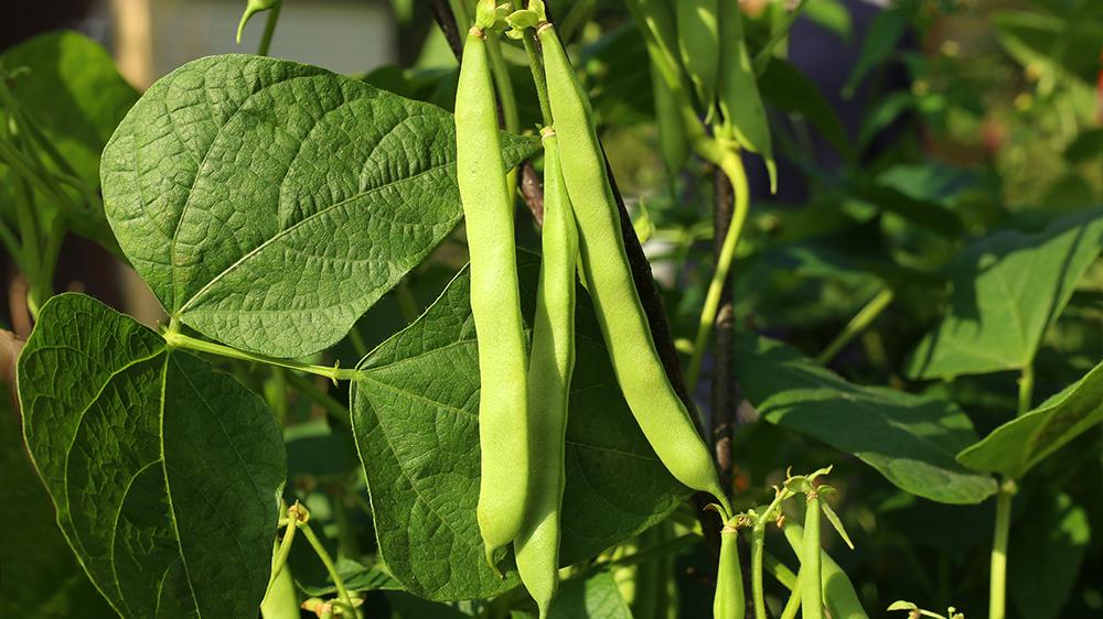 9-kitchen-garden-edibles-green-beans