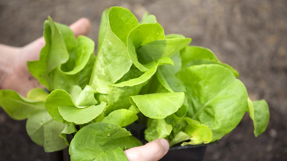 9-kitchen-garden-edibles-lettuce