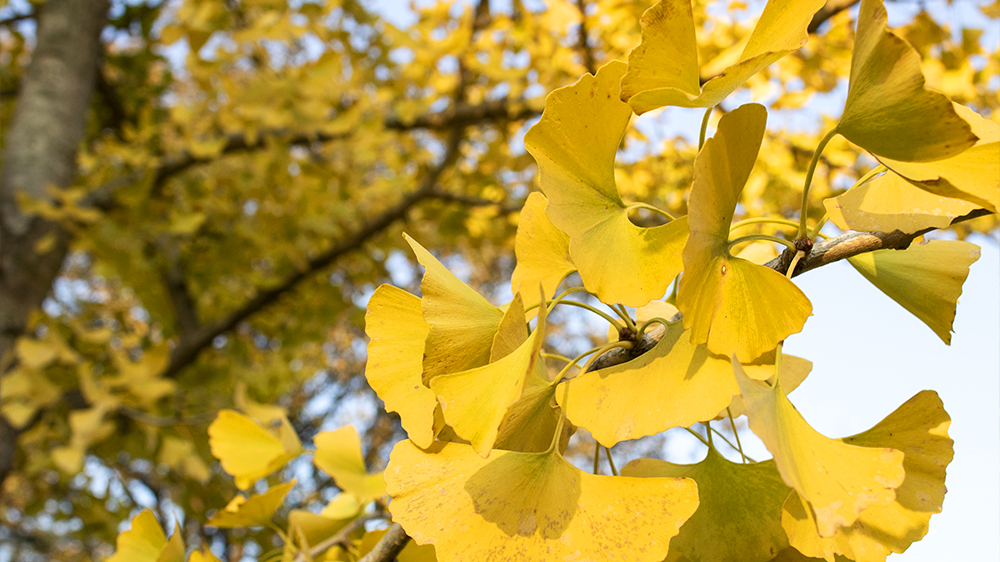 best-trees-to-plant-arbor-earth-day-autumn-gold