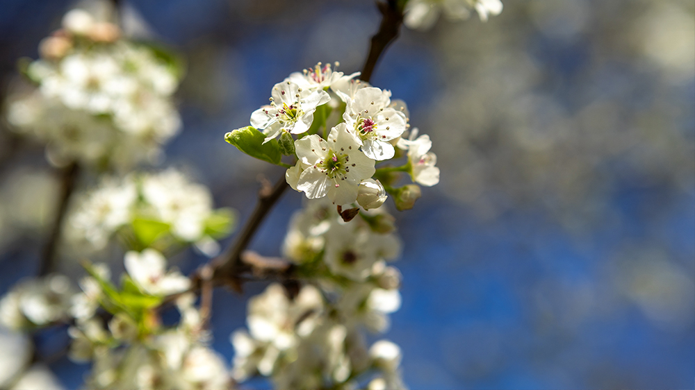 best-trees-to-plant-arbor-earth-day-cleveland-pear
