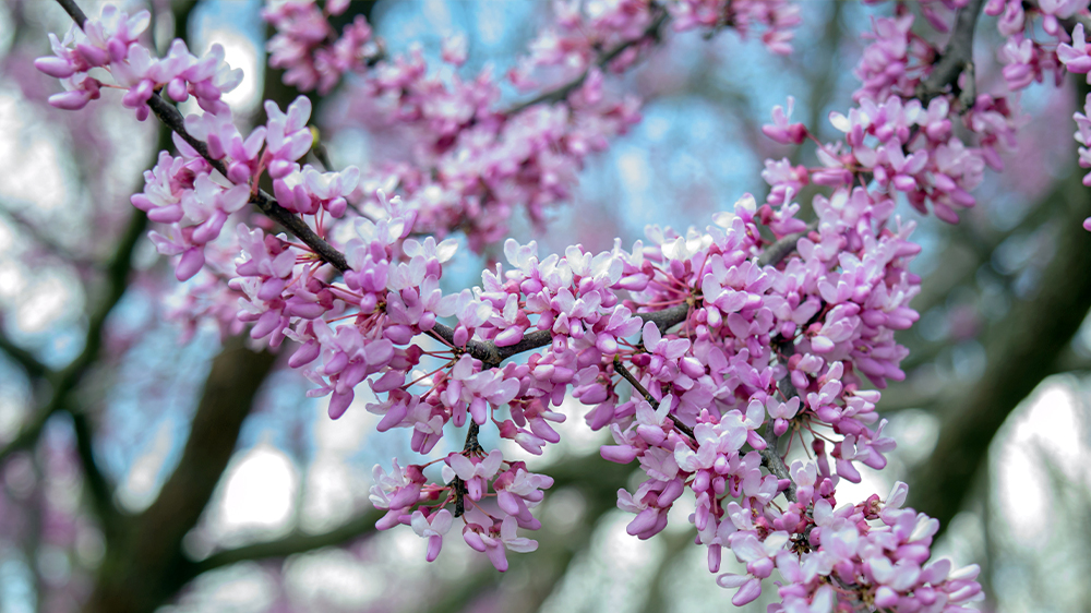 best-trees-to-plant-arbor-earth-day-eastern-redbud