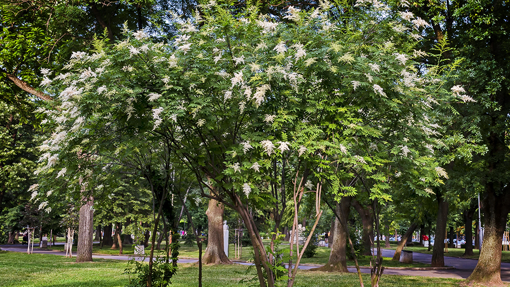 best-trees-to-plant-arbor-earth-day-japanese-lilac