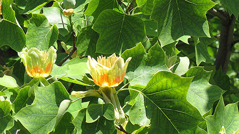 best-trees-to-plant-arbor-earth-day-tulip-tree