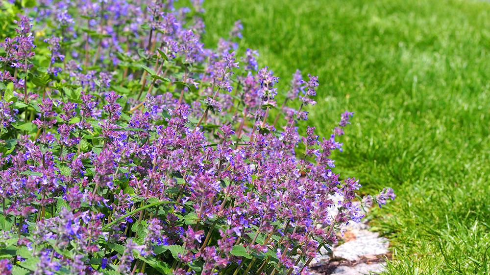 plants-perform-double-duty-catmint