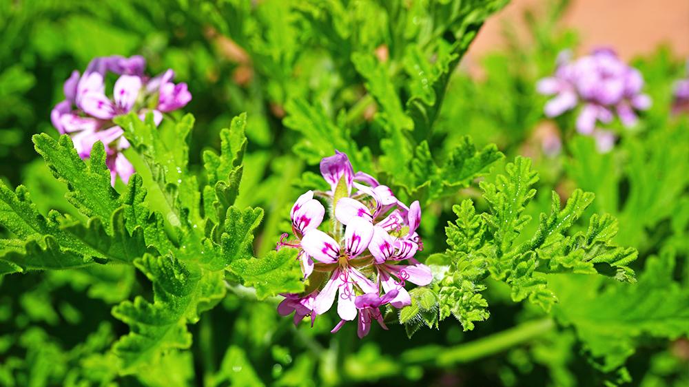 plants-perform-double-duty-citronella-geraniums