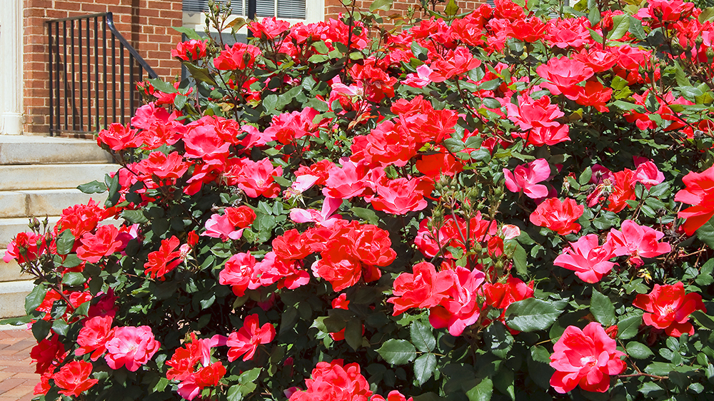 plants-perform-double-duty-knockout-roses
