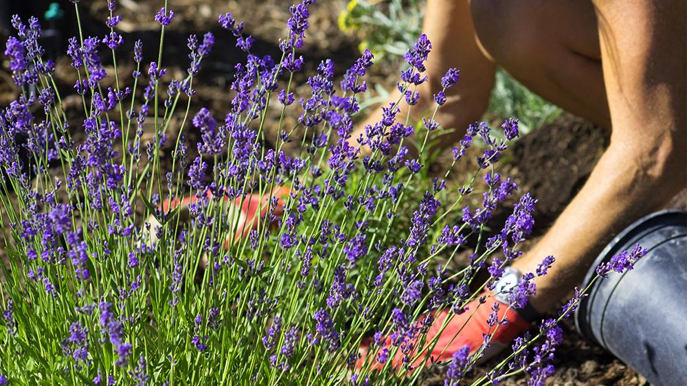 plants-perform-double-duty-lavender