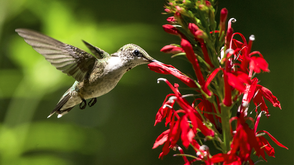 low-maintenance-perennials-alsip-cardinal-flower-hummingbird